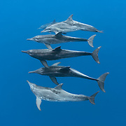 A small group of rough-toothed dolphins (Steno bredanensis) swimming at depth. This group was part of a larger group comprising perhaps up to 50 individuals traveling together.