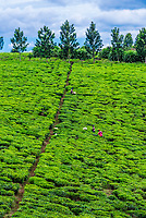Workers picking green tea on a tea estate in the Kyenjojo District, Western Uganda.
