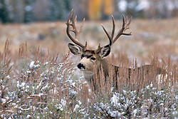 Trophy, non-typical, Buck Mule Deer, fall snow, Jackson Hole Wyoming<br /> <br /> The story of this huge buck<br /> A trophy buck ~ through the years.<br /> http://daryl-hunter.net/a-trophy-buck-through-the-years