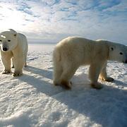 Polar Bear (Ursus maritimus) A mother and her cub at Cape Churchill on the shores of Hudson Bay, near Churchill, Manitoba. November. Canada. Winter.