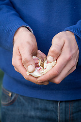 Handful of garlic cloves ready to plant out