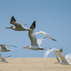 Bando de andorinhas-do-mar (Sterna maxima) em pleno voo na baía do Mussulo. Angola