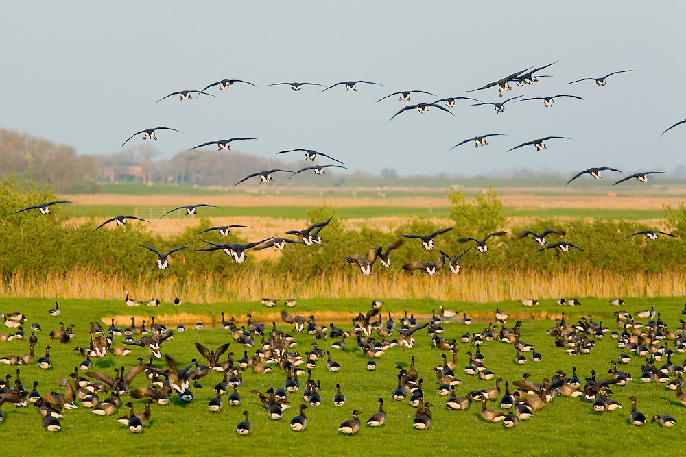 24.04.2009<br /> Brent Goose (Branta bernicla) örvös lúd<br /> Westerhever, Germany