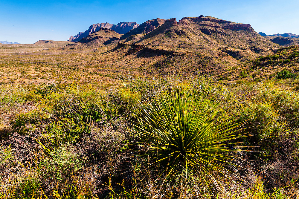 Yucca plant, Ross Maxwell Scenic Drive, Chihuahuan Desert (with Chisos Mountains behind), Big Bend National Park, Texas USA.