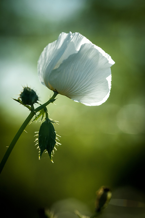 Hill Country white poppy, Willow City, Texas