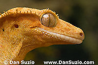 New Caledonian Crested Gecko, Rhacodactylus ciliatus, also called Guichenot's Giant Gecko or Eyelash Gecko.  The nocturnal gecko's vertical pupils open wide in dim light, closing to narrow slits in a fraction of a second when exposed to bright light.   Endemic to New Caledonia in the South Pacific, the crested gecko was thought extinct until it was rediscovered in 1994.  It is now one of the most commonly kept species of gecko in captivity.  .