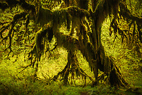 Lush green of vine maple and forest ferns in the Hoh Rainforest, Olympic National Park, Washington, USA