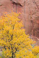 Maple trees in Kolob Canyons Zion National Park Utah USA