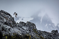 Antarctic Cormorant coming in to land.