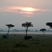 African Elephant (Loxodonta africana) sunrise on the Serengeti Plains, Masai Mara Game Reserve, Kenya Africa