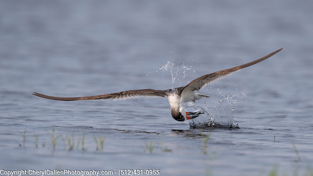 Black Skimmer at the moment of impact with fish