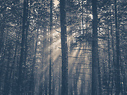 Snow falling from the trees and lit by the sun.
