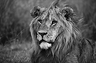 Dreamy and stunningly handsome lion in Lewa, Kenya.