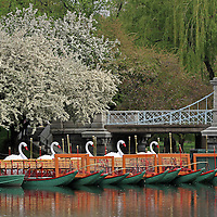 The Boston swan boats in the Public Garden captured on a beautiful spring evening in May. A favorite Boston landmark and tourist attraction for young and old, the swan boats are located at the Boston Public Garden.<br /> <br /> This Boston spring photography picture of an iconic Swan Boat in the Boston Public Garden is available as museum quality photography prints, canvas prints, acrylic prints or metal prints. Prints may be framed and matted to the individual liking and decorating needs:<br /> <br /> http://juergen-roth.artistwebsites.com/featured/boston-swan-boats-juergen-roth.html<br /> <br /> All photographs are available for digital and print use at www.ExploringTheLight.com. Please contact me direct with any questions or request.<br /> <br /> Good light and happy photo making! <br /> <br /> Juergen <br /> www.rothgalleries.com <br /> www.exploringthelight.com<br /> http://whereintheworldisjuergen.blogspot.com<br /> @NatureFineArt<br /> https://www.facebook.com/naturefineart