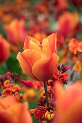 Scented combination of Tulipa 'Veronique Sanson' with Erysimum cheiri 'Fireking' - wallflower