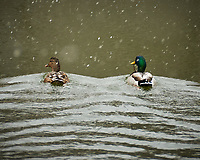 Pair of Mallard ducks in the Sourland Mountain Preserve pond. Image taken with a Nkkon D300 camera and 18-200 mm VR lens (ISO 400, 200 mm, f/5.6, 1/200 sec)
