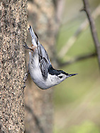 White Breasted Nuthatch, Sitta carolinensis, In a typical and uniquely Nuthatch stance