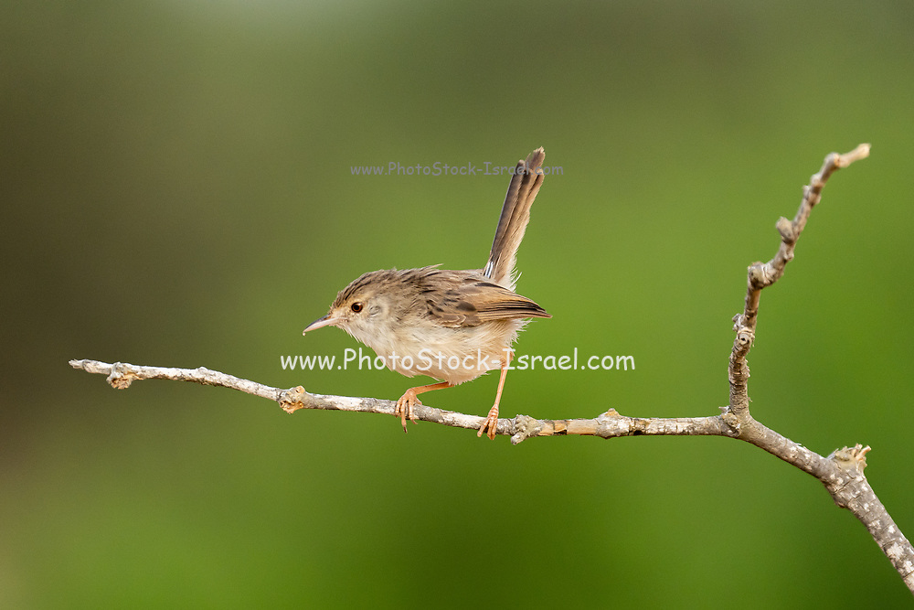 Female House Sparrow (Passer domesticus biblicus) perched on a branch, Photographed in Israel in September