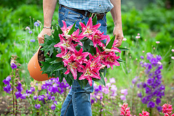 Carrying a pot of Lilium 'Stargazer' - Lily