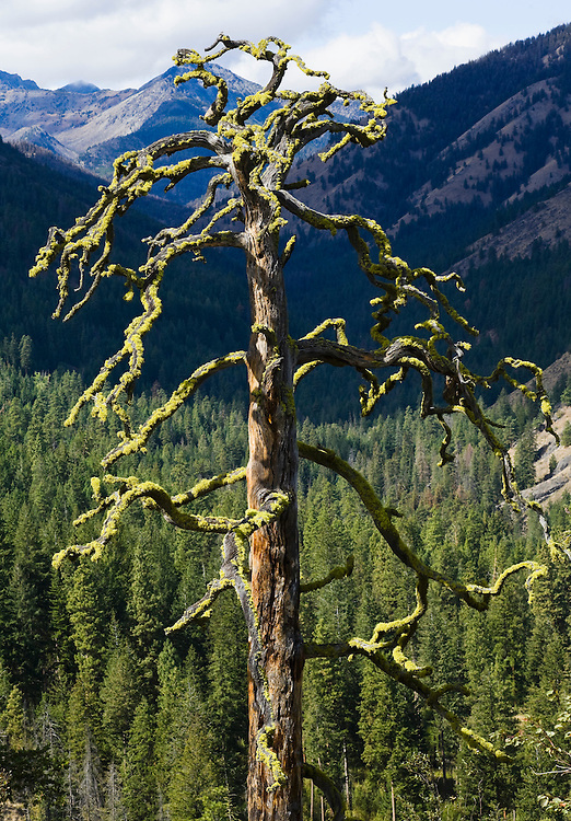 An old snag with lichen growing on its branches.  Near Sun Mountain Lodge, Washington, USA.