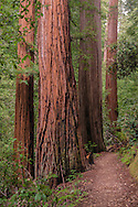 Redwood trees and trail through forest, Big Basin State Park, Santa Cruz County, California