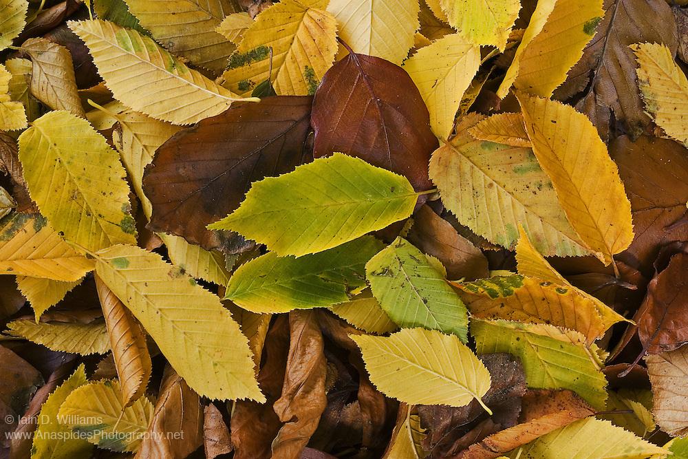 Coloured Leaves, Tasmania