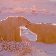 Polar bear (Ursus maritimus) mother and cub. Hudson Bay, Manitoba, Canada