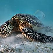 Turtle - Sumatra
