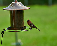 House Finch. Image taken with a Nikon D850 camera and 200-500 mm f/5.6 VR lens
