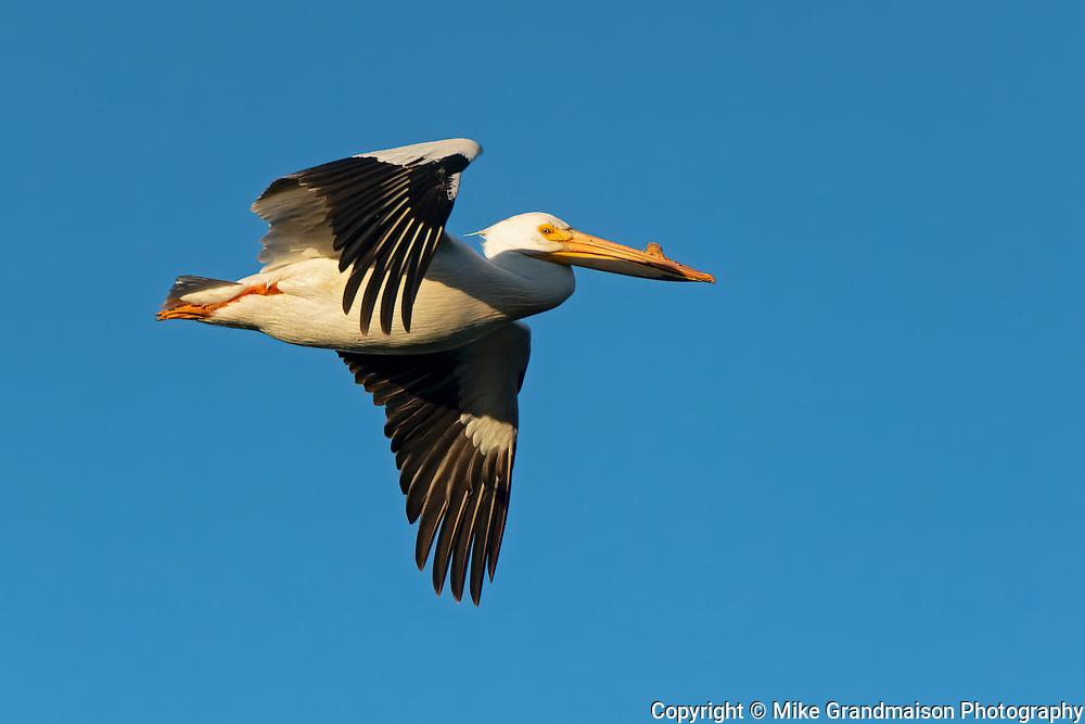 American white pelican (Pelecanus erythrorhynchos) in flight <br />Winnipeg<br />Manitoba<br />Canada