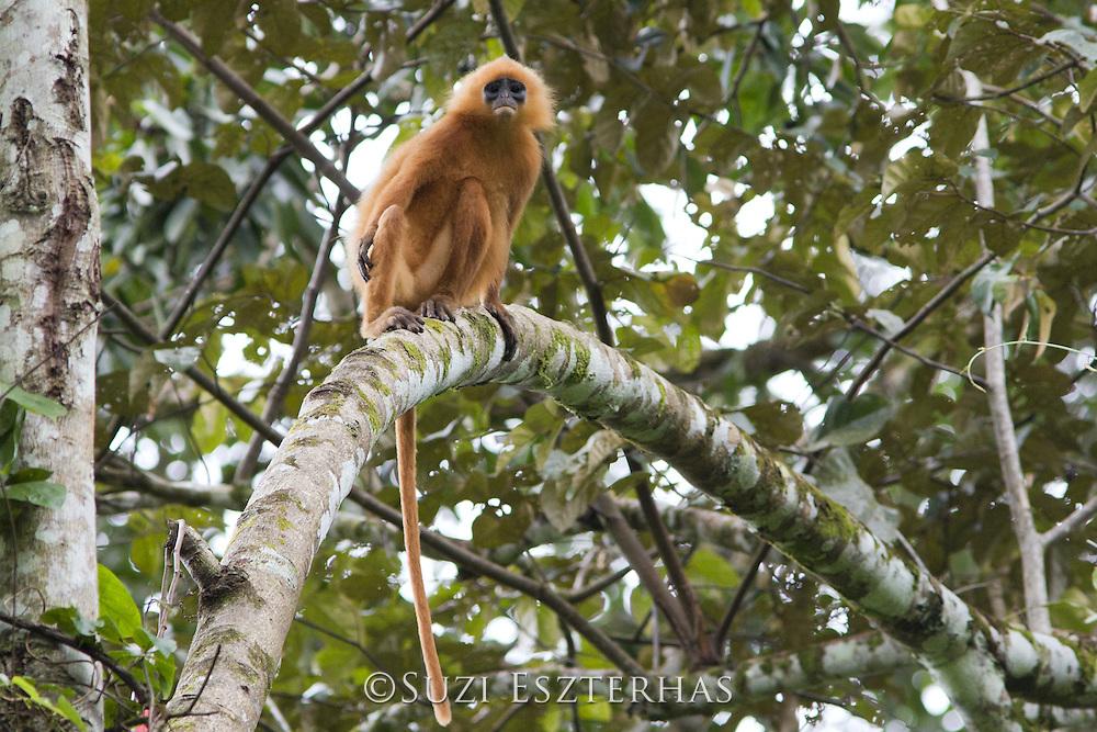 Maroon Langur<br /> Presbytis rubicunda<br /> Danum Valley Conservation Area, Malaysia