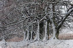 © Licensed to London News Pictures. 09/02/2016. Builth Wells, Powys, Wales, UK. Trees are seen covered in icy snow on the  Mynydd Epynt range of high moorland. After a long unseasonably warm spell of weather in Mid Wales, temperatures drop in and the high land of the Mynydd Epynt range, near Builth Wells in Powys, Wales, is hit by a blizzard late this afternoon. Photo credit: Graham M. Lawrence/LNP
