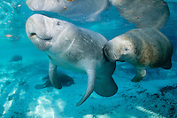 Florida manatee, Trichechus manatus latirostris, a subspecies of the West Indian manatee, endangered. A series of male and female courting or cavorting behavior with more manatee in the background. The couple swims into strong, warming sunlight. The male appears to be touching a sensitive zone with his snout. Horizontal orientation with beautiful blue spring water. Three Sisters Springs, Crystal River National Wildlife Refuge, Kings Bay, Crystal River, Citrus County, Florida USA.
