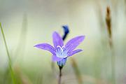 Spreading Bellflower, Campanula patula, Fagaras Mountains, Transylvanian Carpathians Alps, Romania, purple flower, biennial herbaceous plant, native to temperate parts of Europe