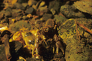 Northern Clearwater Crayfish<br /> <br /> ENGBRETSON UNDERWATER PHOTO