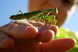 """South Africa - Plettenberg Bay - 14 May 2020 - Alexander Ritchie holds a mantis in a garden in Plettenberg Bay. From Wikipedia """"Mantises are an order (Mantodea) of insects that contains over 2,400 species in about 430 genera in 15 families. Mantises are distributed worldwide in temperate and tropical habitats. They have triangular heads with bulging eyes supported on flexible necks. Their elongated bodies may or may not have wings, but all Mantodea have forelegs that are greatly enlarged and adapted for catching and gripping prey; their upright posture, while remaining stationary with forearms folded, has led to the common name praying mantis."""" Picture: David Ritchie/African News Agency(ANA)"""