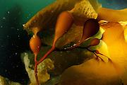Giant kelp or Giant bladder kelp (Macrocystis pyrifera) Comau Fjord, Patagonia, Chile | Pazifische Kelpwald, Riesentang (Macrocystis pyrifera), Patagonia, Chile