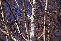 White birch in the spring