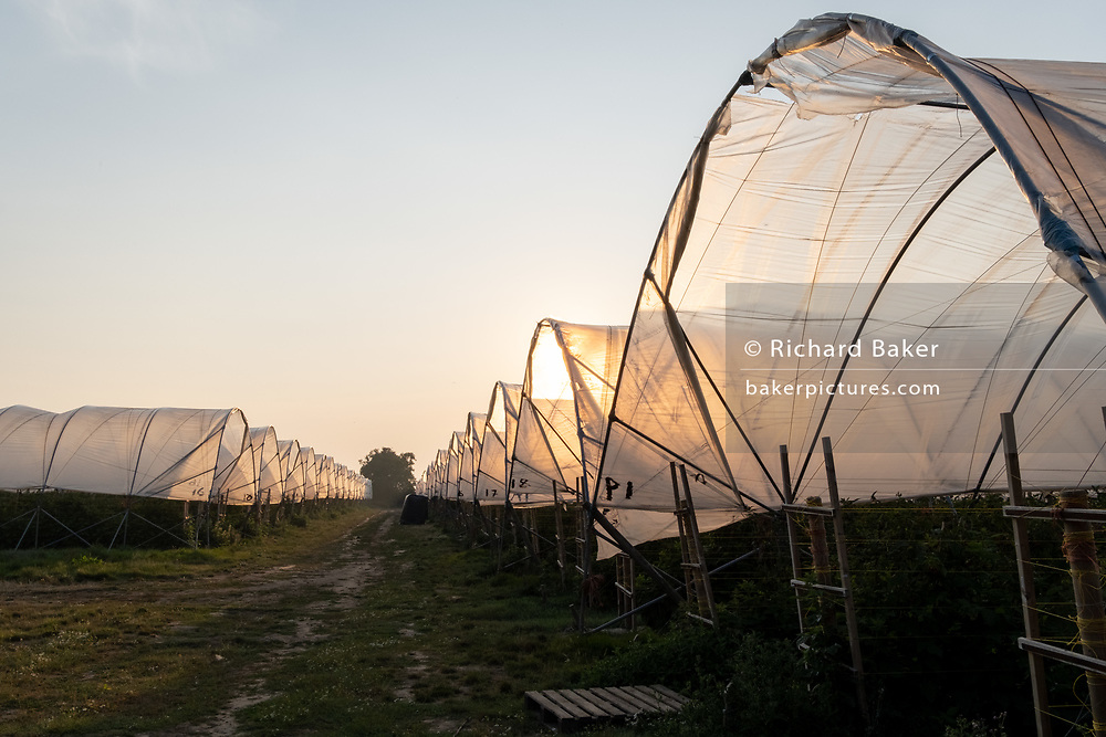 Fruit grows beneath arched agricultural polytunnels on Norfolk farmland, on 11th August 2020, in Norfolk, England.