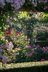 Roses in The Long Garden at David Austin Roses