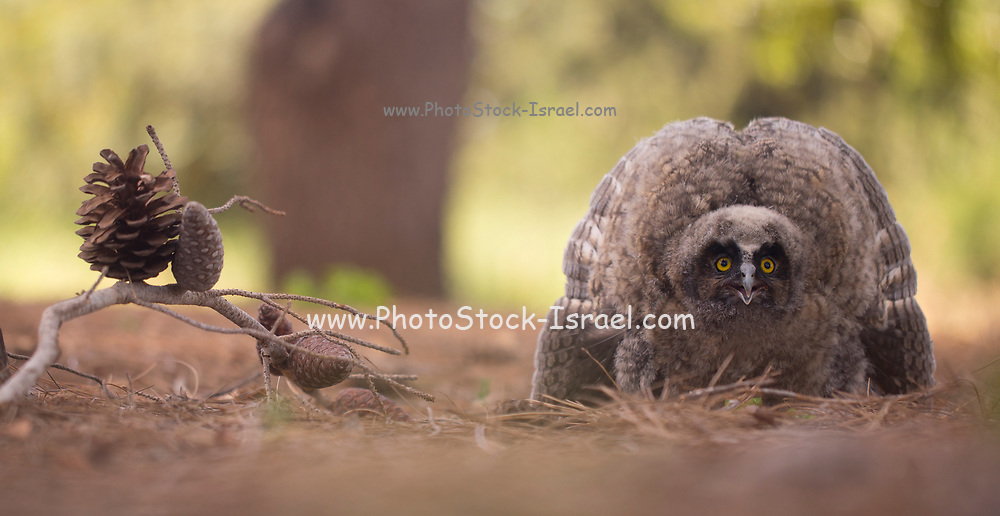Juvenile Long-eared Owl (Asio otus) on the ground. This owl inhabits woodland near open country throughout the northern hemisphere. It is strictly nocturnal and feeds mainly on small mammals such as mice and voles Photographed in Israel in Spring in May