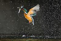 Kingfisher (Alcedo Atthis) jégmadár<br /> Balatonfuzfo, Hungary