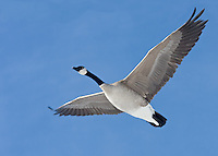 A Canada Goose soars directly over top of me as I crossed the walking bridge into Southland Dog Park.  There were thousands of geese there the other day and it was really rather impressive to see them all...