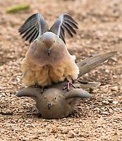 A pair of Mourning Doves, Zenaida macroura, mate in the Desert Botanical Garden, Phoenix, Arizona