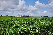 Cornfield in the Netherlands | Maisveld in Gelderland