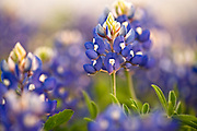 Texas bluebonnets (lupinis Texenis) Prairies and Lakes Region, Texas