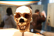 The Natural History Museum, London. A Neanderthal human skull.