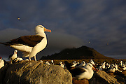Pete OXFORD, Black-browed Albatross, ENDANGERED<br /> Julio Zaldumbide 506 y Toledo, Quito, Ecuador, South America.<br /> Tel: 593-2-2226958      Mail: pete@peteoxford.com<br /> <br /> Black-browed Albatross (Thalassarche melanophrys)<br /> Steeple Jason Island. FALKLAND ISLANDS.<br /> LISTED AS ENDANGERED