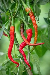 Capsicum annuum 'Hot Cayenne' - Chilli pepper