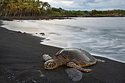 A honu, or Hawaiian green sea turtle, basks on the warm black sand at Punalu'u.  One of the few marine turtles that venture onshore for reasons other than nesting, the honu is considered endangered, as exploitation as a food and ornamentation source decimated their numbers across the globe.  Protection by the US Endangered Species Act and International Union for the Conservation of Nature have helped their numbers recover in Hawaii, but populations in other parts of the world still face a serious threat.